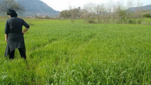 Il campo di grano in primavera